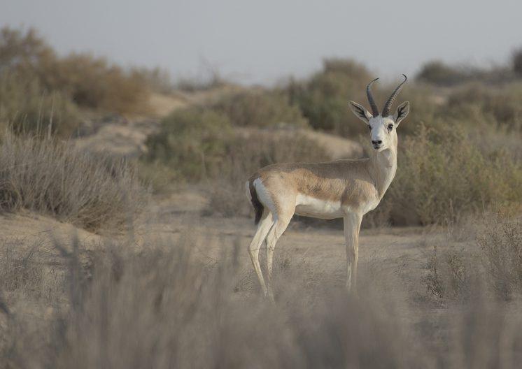 WIldlife Qatar Deer Standing